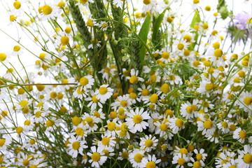 Beautiful bright wild flowers chamomile isolated on white