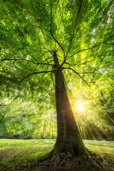 Grüner Baum mit Sonnenstrahlen im Sommer