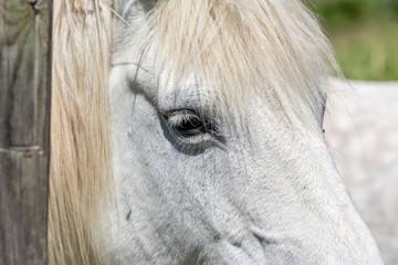 gros plan sur un cheval camarguais