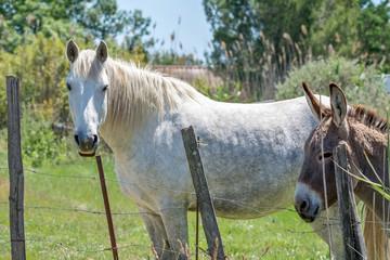 1 cheval camarguais et 1 âne en pature
