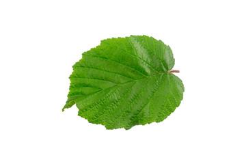 Common hazel (Corylus avellana) bush leaf isolated on a white background.
