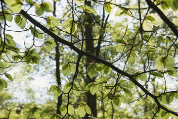 new beech tree leaves in spring