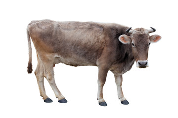 young cow on a white background