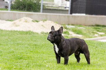 French bulldog standing in the garden