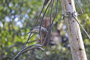 Malaysian Cuckooshrike