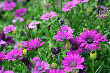 purple chrysanthemum flowers in the garden