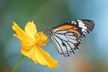 Monarch butterfly feeding on cosmos flower