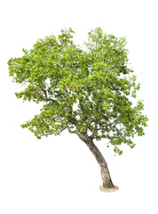 Isolated Tree on white background, Tree object element for desig