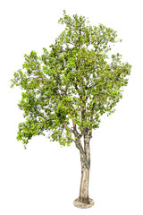 Tree, Isolated Tree on white background, Tree object element for