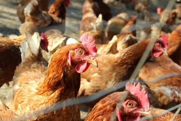 Hühner (Henne) in Freilandhaltung hinter einem Zaun