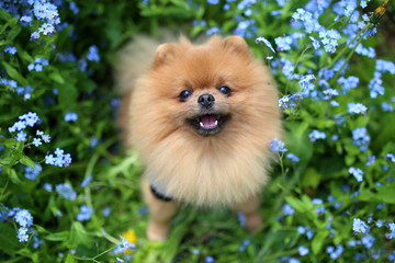Pomeranian dog on a walk. Dog outdoor. Beautiful dog. Dog in forget-me-not flowers
