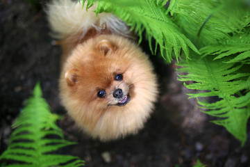 Pomeranian dog on a walk. Dog outdoor. Beautiful dog. Dog in fern