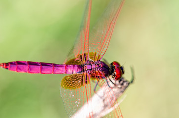 Trithemis auTrithemis Aurora or Crimson Marsh Glider ( male) Close up dragonfly red purple perched at the end of the branchesrora male