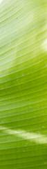 Green banana leaf tree background