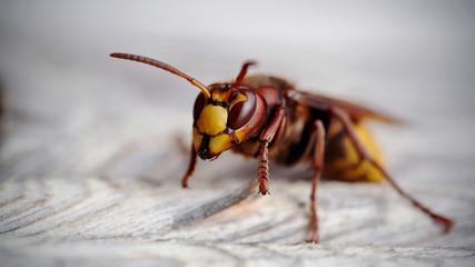 Big wasp - a hornet