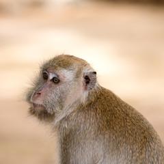 macaque ,monkey