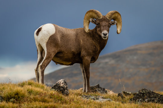 """""""Big Horn"""" Big Horn Sheep traversing the Continental Divide in Rocky Mountain National Park. A cool and crisp September afternoon in Colorado."""