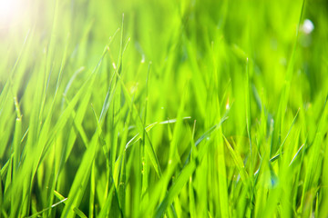 young green grass as a background close-up macro