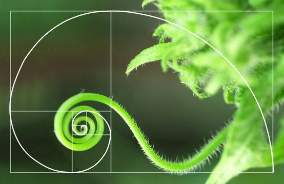Illustration of spiral arrangement in nature.  Golden Ratio concept