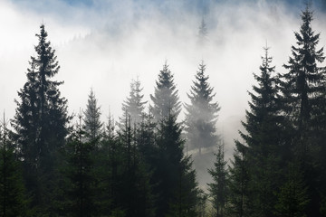 Trees on a mountain on a foggy morning