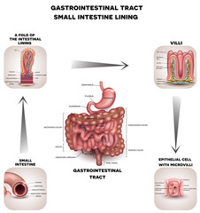 Normal Gastrointestinal tract and small intestine detailed anatomy