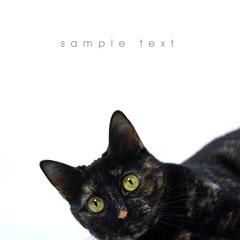 Cat on white background in studio. Black Cat