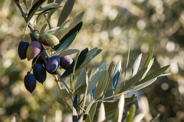ripe Kalamata olives on olive tree branch growing in olive grove