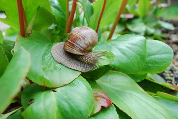 Snail crawling on green leaves. Helix pomatia (common names the Burgundy snail, Roman snail, edible snail or escargot) is a species of large, edible, air-breathing land snail.