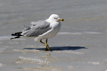 Ring billed Gull (Larus delawarensis) walking in the shallow surf on a Gulf Coast beach.