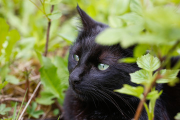 Black domestic cat in nature, enjoying freedom