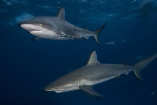 Two gray reef sharks (Carcharhinus amblyrhynchos) patrol the reefs north of the bahama banks in Bahamas