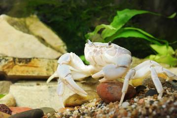 River crab Potamon sp. close-up in natural environment