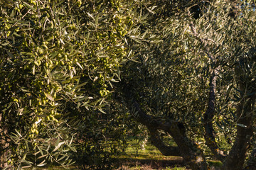 green olives ripening on tree in olive grove