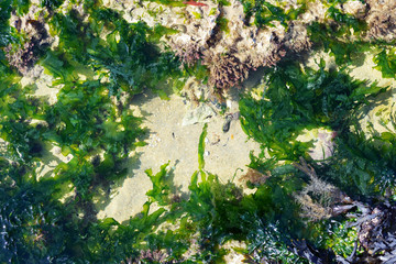 Ocean shore ecosystem with green algi, rocks and sand during low tide in Normandy, France