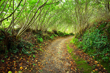 Tunnel-like footpath in a green hazel forest in Brittany, France