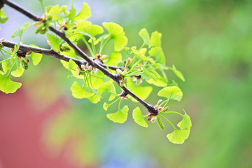 Spring ginkgo tree branch with baby leaves