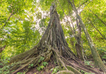 banyan Tree with Morning light of deep forest