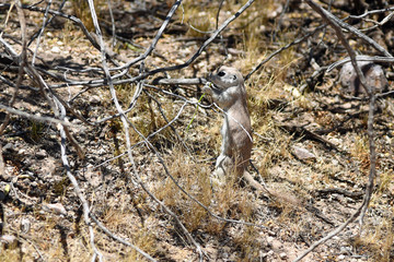 Round-tailed ground squirrel (Xerospermophilus tereticaudus) in the Saguaro National Park in Tucson