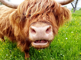 Highland cow chewing grass