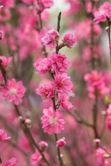 Lunar new year greeting with blossom flower at market in Vietnam