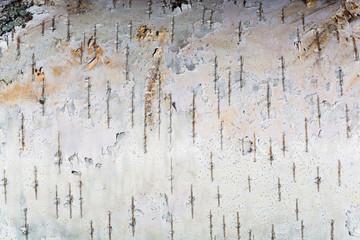 The white texture of birch bark