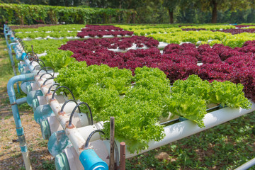 Organic hydroponic vegetable in the cultivation farm