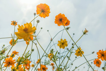 Marigold and Cosmos flowers in the meadow