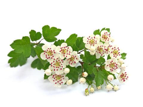 Weißdorn, Crataegus, Weißdornblüten