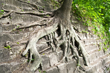 Tree roots in the wall