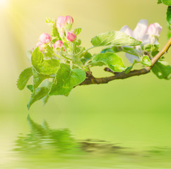 Apple tree flower blossoming at spring time with water reflection, floral retro vintage hipster background