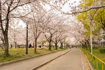 Sakura tree (cherry blossom) in Sakuranomiya park. A park famous