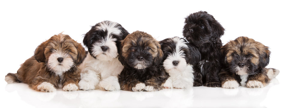 group of lhasa apso puppies on white