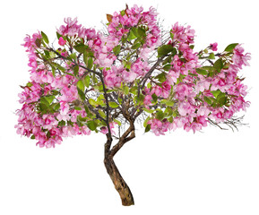 apple tree with large pink blooms on white
