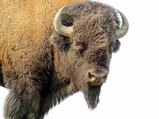 Bison looking at us in Yellowstone National Park